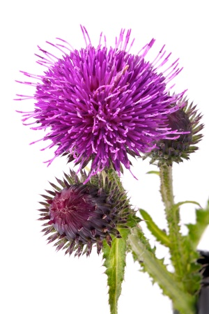 Close-up view to blooming burdock (Arctium lappa) on white background. Not isolated, studio shot Stock Photo