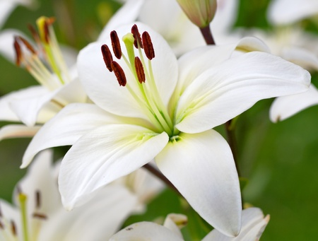 popularly: Close-up view to Dark red lily flower (Lilium candidum), popularly known as the Madonna Lily. Stock Photo