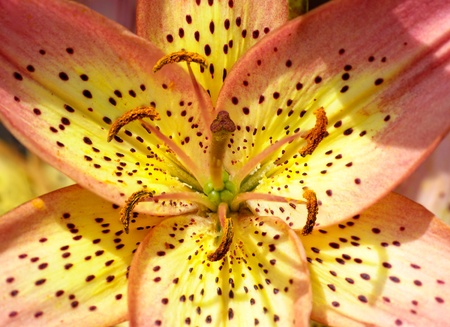 Close-up view to multicolored tiger lily flower (Lilium catesbaei). photo