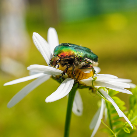 aurata: Close-up view to Cetonia aurata, known as the green rose chafer, on  camomile flower