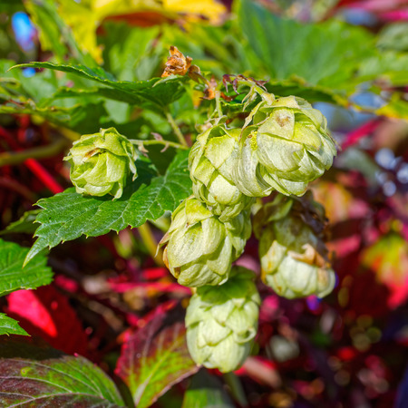 bier: Close-up view to fresh green hop cones (humulus lupulus), cultivated to make bier