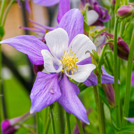 bonnet up: Close-up view to Aquilegia (common names: Granny Stock Photo