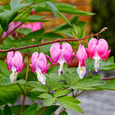 bleeding heart: Close-up view to bleeding heart flowers (Dicentra spectabilis or Lamprocapnos spectabilis). Selective focus. Stock Photo