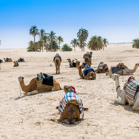 desert oasis: Camels lying on the sand in the desert oasis Stock Photo