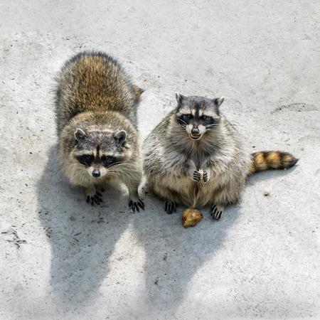 procyon: Two cunning raccoon beg treats