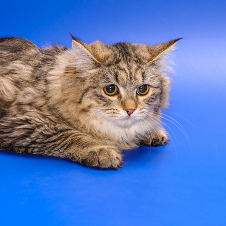 housecat: Striped long haired Siberian cat on blue background Stock Photo