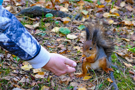 feeds: Woman hand feeds red squirrel with nuts at autumn forest Stock Photo