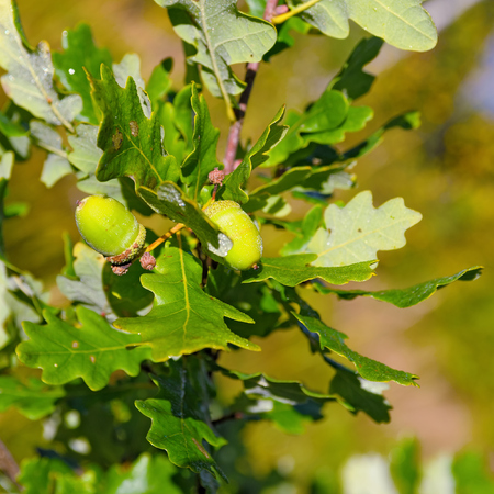 acorn tree: Close-up view to oak tree branch with acorns covered morning dew