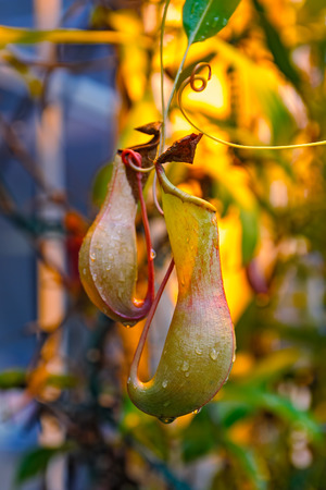 pitfall: Close up of the tropical pitcher plants or monkey cups in tropical garden