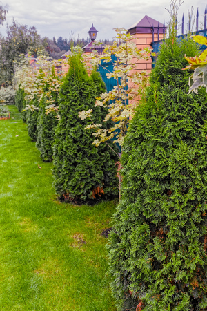 fense: Row maple trees and evergreen thuja hedges along the fence Stock Photo
