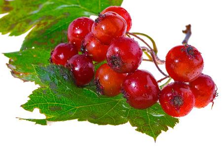 guelderrose: Guelder-rose (viburnum opulus) berries on white background