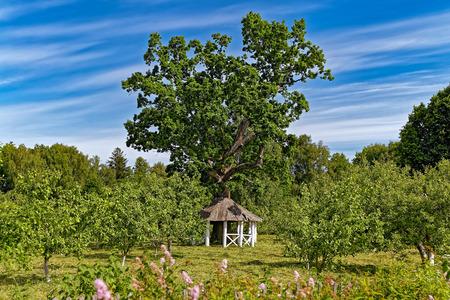 gazebo: Old oak tree with a gazebo around