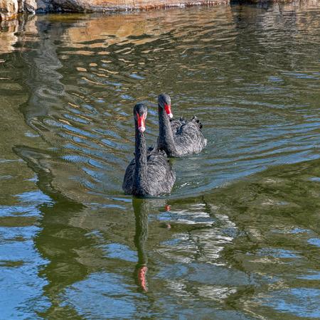 cygnus atratus: Pair of black swans (Cygnus atratus) swimming in still reflecting water in city park in Qinhuangdao, China