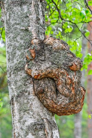 protuberance: Growth on a birch tree trunk like a bear