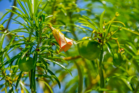 Lucky beans and trumpet flowers of evergreen shrubtree Cascabela thevetia Juss. ex Steud. in common name as yellow oleander or lucky nut Stock Photo