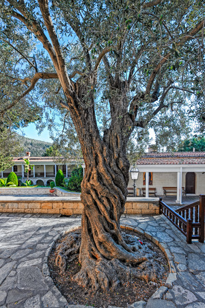 Trunk of an ancient Olive tree (Olea europaea) in Saint Neophytos Monastery near Paphos, Cyprus