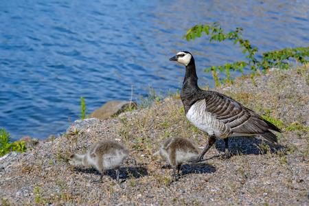 Barnacle Goose (Branta leucopsis) and gosling walking on a park embankment in center of Helsinki, Finland Stock Photo