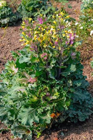 flowering kale: Close up view to flowering ornamental kale (Brassica oleracea, Flowering kale)