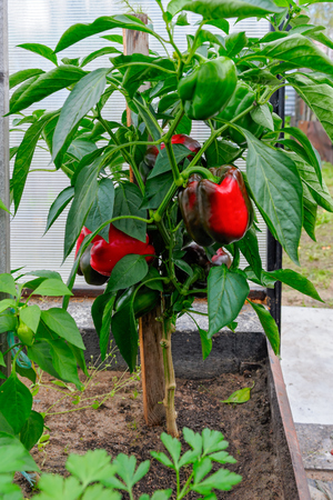 Homegrown ripe red bell peppers in a greenhouse