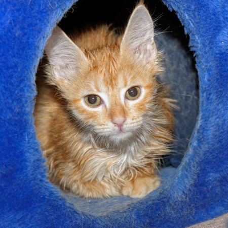 Cute wet red kitten after a bath hides in his cat booth
