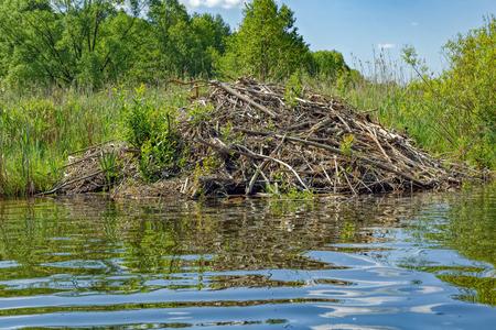 Sticks of a European Beaver (Castor fiber) lodge on forest lake, Pskov region, Russia