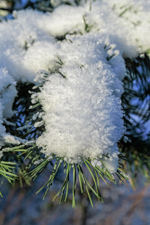 brightly lit: Beautiful brightly lit frost pattern on pine branch