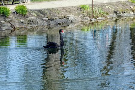 cygnus atratus: Black swan (Cygnus atratus) swimming in city park pond.