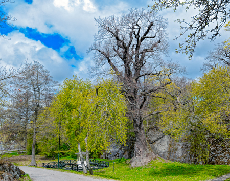 Oldest living oak in  in the whole of Stockholm - Prince Eugen Oak in Djurgarden park in Stockholm (Age, according to the results, from 300 to 400 years, up to 1000 years.). Waldemarsudde, Sweden.