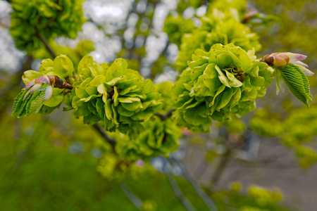 Beautiful branch of bright green maple tree buds with shallow depth of field.