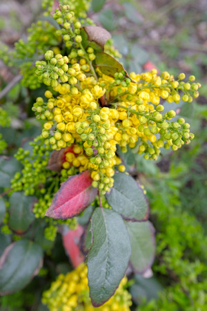 High point close-up view to small tightly packed bunch of yellow flowers on a mahonia shrub with green and pink wax like leaves in a garden. Stock Photo
