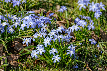 Blue flowers of glory of the snow (Chionodoxa lucilae) in spring bloom Stock Photo