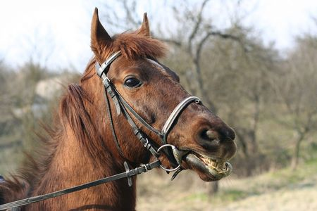 bridle: Head of a horse which have sharply pulled a bridle