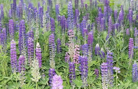 lupines: Field of blooming lupines purple and lavender flowers.