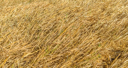drudgery: Yellow ears of corn stalks left in the field after harvest.