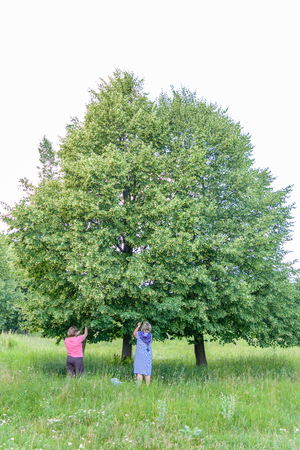 pluck: Two middle-aged women collect pluck linden flowers from green tree on a summer day