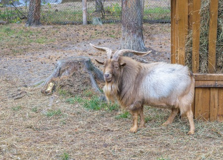 non urban 1: Shaggy horned mountain sheep (ovis ammon) near the feeders with hay (side view)