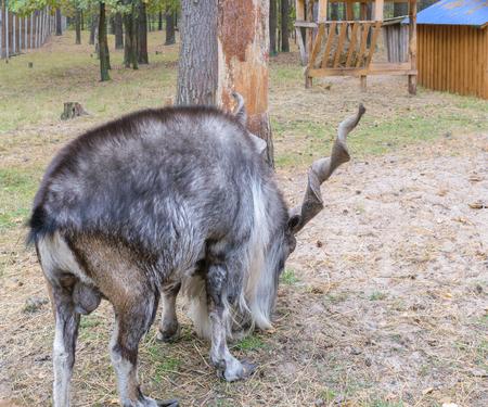 testicular: Horned goat (markhor, lat.: capra falconeri heptneri). Rear side view