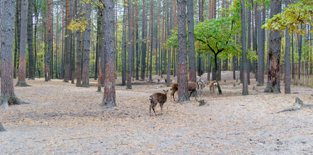 Herd of roe deer grazing in the forest.
