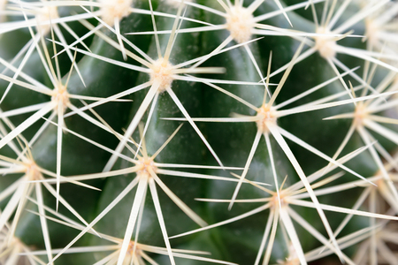 sharp: Sharp white thorns on a green cactus.