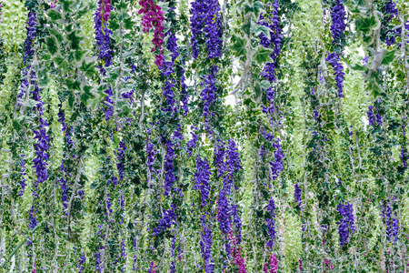 Background of blooming lupine flowers and creeping ivy hanging vertically.