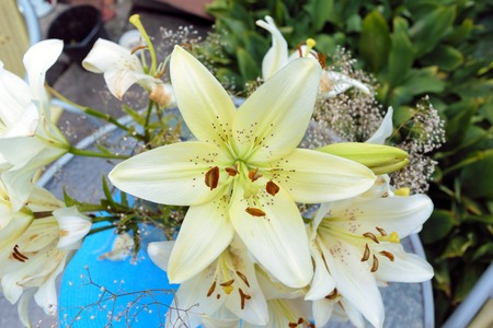 Opened white lily flower, top view