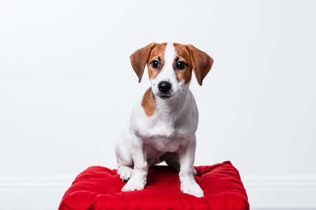 Jack Russell Terrier puppy posing Stock Photo