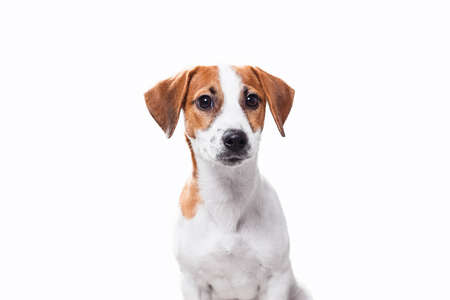 jack russell terrier puppy: Jack Russell Terrier puppy posing Stock Photo
