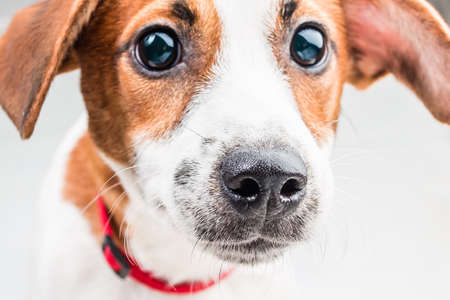 russell: jack russell terrier
