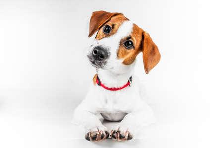 Jack Russell Terrier Standard-Bild