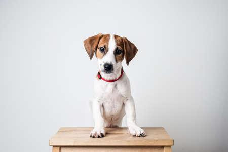jack: jack russell terrier