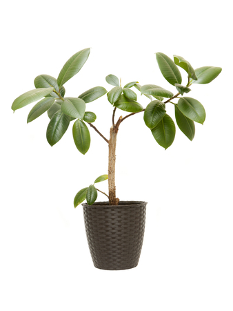 Houseplant Ficus Elastica (Indian Rubber Bush) isolated on white background
