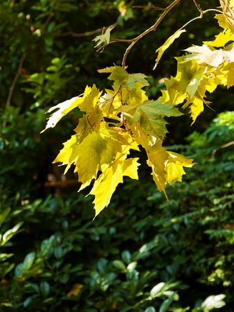 sorb: autumn leaves