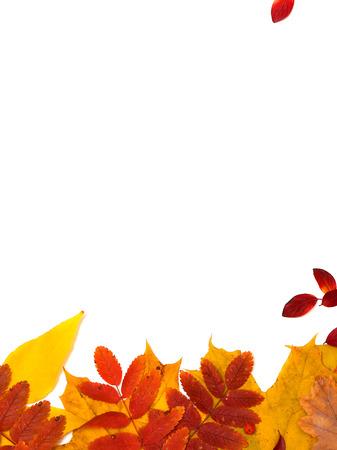 sorb: Autumn leaves on white background Stock Photo
