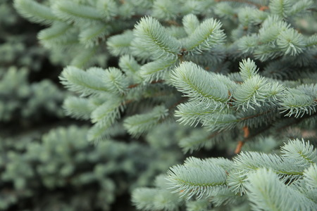 scratchy: green branches of the spruce Stock Photo